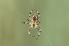 Garden orb spider Stock Photos