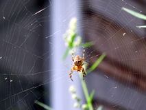 Garden orb weaver. A garden orb weaver spider on its web Royalty Free Stock Photography