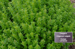 Garden Oregano. Fresh oregano growing in an herb garden Stock Photography