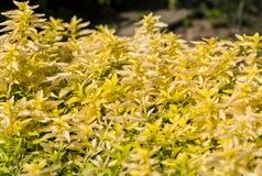 Garden with the Oregano Stock Photography