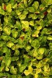 Garden ornamental plant leaves Stock Photos