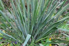Garden ornamental plant yucca, South Bohemia Stock Photos