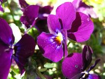 Garden pansies Stock Photography