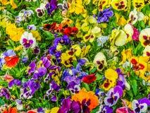 Garden of Pansies Stock Photos