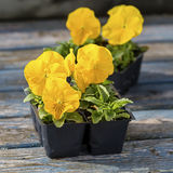 Garden Pansies. Packs of bright yellow garden pansies still in garden packs and ready to plant in the home garden Stock Photo
