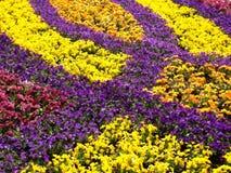 Garden pansy field Stock Photos