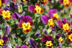 Garden pansy flowers - closeup view. Garden pansy (Viola tricolor hortensis) flowers - closeup view Stock Images