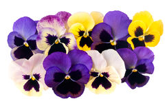 Garden pansy flowers isolated over white background. Purple, yel Stock Photography