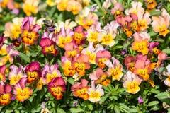 Garden pansy stock image