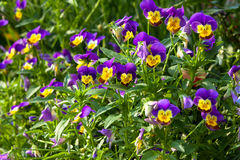 Garden pansy Royalty Free Stock Images
