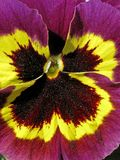 Garden-Pansy in spring, Viola wittrockiana Royalty Free Stock Photo