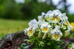 Garden pansy Stock Photography