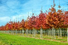 Garden and park tree nurseries specialise in medium to very large sized trees, white american oak tree plantation stock photography