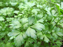 Parsley garden Stock Photos