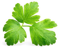 Garden parsley herb (cilantro) leaf isolated on white. Garden parsley herb (coriander) leaf isolated on white background with clipping path Stock Photography