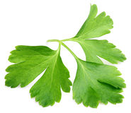 Garden parsley herb cilantro leaf isolated on white Royalty Free Stock Photography