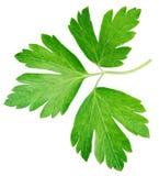 Garden parsley herb coriander leaf isolated on white Stock Photo