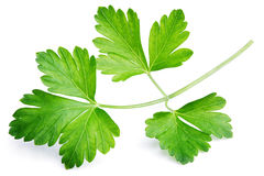 Garden parsley herb Stock Photography