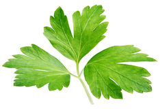 Garden parsley herb coriander leaf isolated on white Stock Photo
