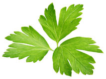 Garden parsley herb coriander leaf isolated on white Royalty Free Stock Photography