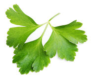 Garden parsley herb (cilantro) leaf isolated on white Royalty Free Stock Image