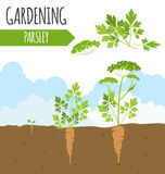 Garden. Parsley. Plant growth. Royalty Free Stock Photo
