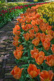 Garden path with a border of tulips. Royalty Free Stock Photography