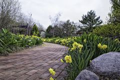 Garden path with daffodils on both sides Royalty Free Stock Photography