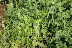 Garden Pea GP 901. Pisum sativum, cultivar developed by IARI, cultivated annual herb with pinnate leaves, terminal tendril, white flowers in racemes and Stock Images