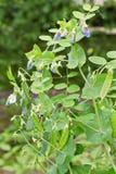 Garden pea Stock Images