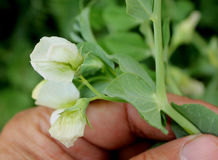 Garden Pea Royalty Free Stock Image