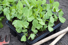 Garden Pea Plants. Young Garden Pea Plants Ready For Planting Out In The Garden Stock Photography
