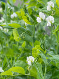 Garden pea plants in flower. Fresh vegetables. Royalty Free Stock Photo