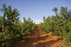 Garden of peaches Royalty Free Stock Photos