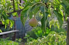 Garden pear. Pear hanging on a branch stock photos