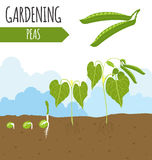 Garden. Peas. Plant growth. Royalty Free Stock Images