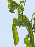 Garden peas swelling in their pods. Royalty Free Stock Photography