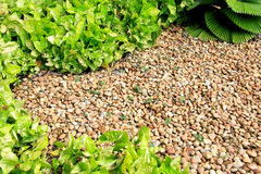 Garden pebble stones. Pebble stones, other than to beautify or decorate garden, also useful to minimize or slowing down growth of other unwanted plant. Syngonium Stock Photos