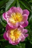 Garden Peonies Stock Photo