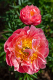 Garden Peony Stock Images