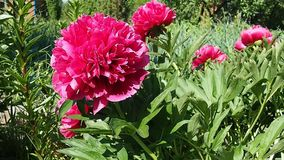 Garden peony bush waving stock video footage