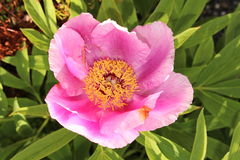 Garden Peony flower - Paeonia Officinalis Stock Images