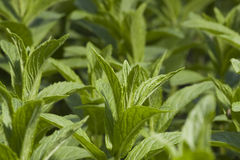 Garden Peppermint plant. Close-up shoot of garden green peppermint plant royalty free stock images