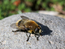 Garden Pest: Narcissus Bulb Fly Royalty Free Stock Photo