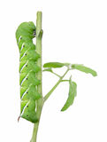 Garden Pest (tomato hornworm). A 4 tomato hornworm defoliating a tomato plant, isolated on white Royalty Free Stock Photo