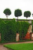 Garden of Peterhof in St.Petersburg, Russia. Cut Trees and Ivy on an Old Wall in Garden of Peterhof in St.Petersburg, Russia royalty free stock image