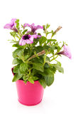 Garden petunia Royalty Free Stock Photo