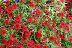 Garden Petunia Stock Photo