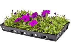 Garden Petunias Stock Images