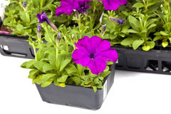 Garden Petunias Royalty Free Stock Images